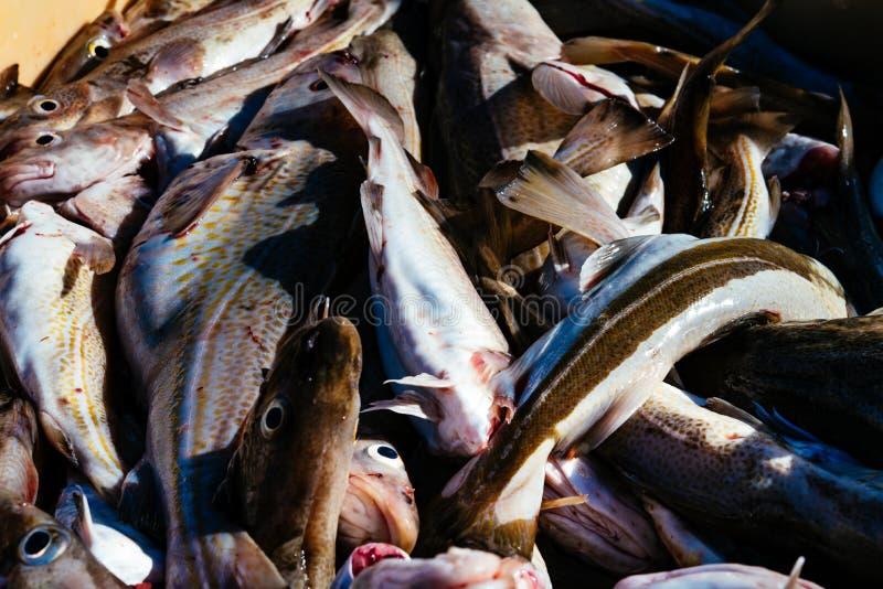 冰岛鱼 日的抓住 免版税库存照片