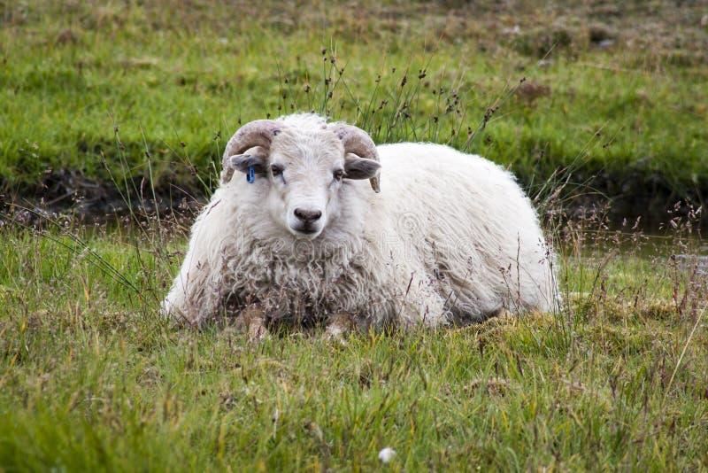 冰岛绵羊 免版税库存照片