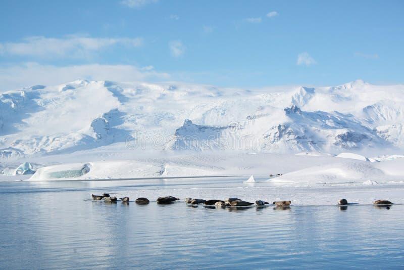 冰岛jokulsarlon密封休眠 库存照片