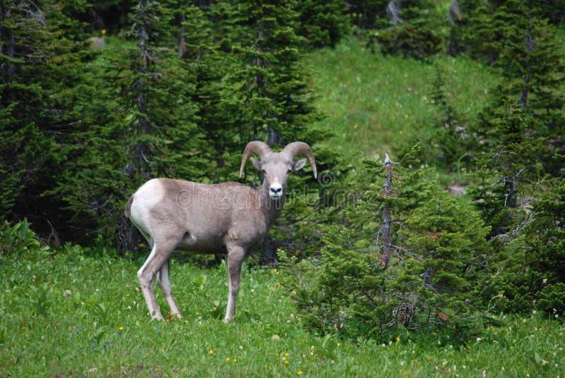 冰川国家公园公羊 库存照片