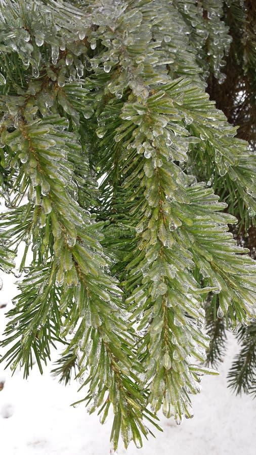冰川覆盖的杉树 库存照片