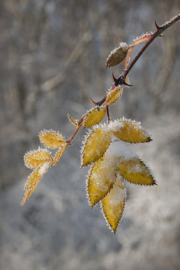 结冰的叶子 图库摄影