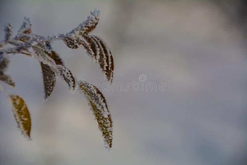 结冰的叶子 免版税库存照片
