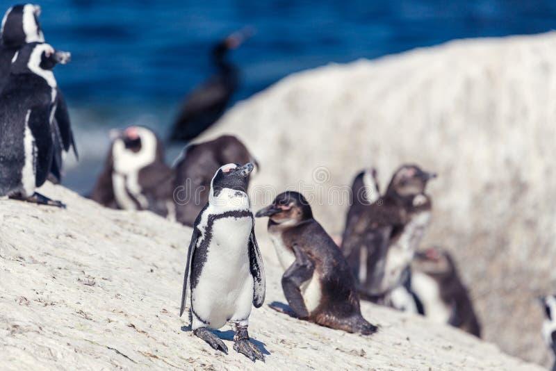 冰砾的非洲企鹅殖民地靠岸,南非 免版税库存图片