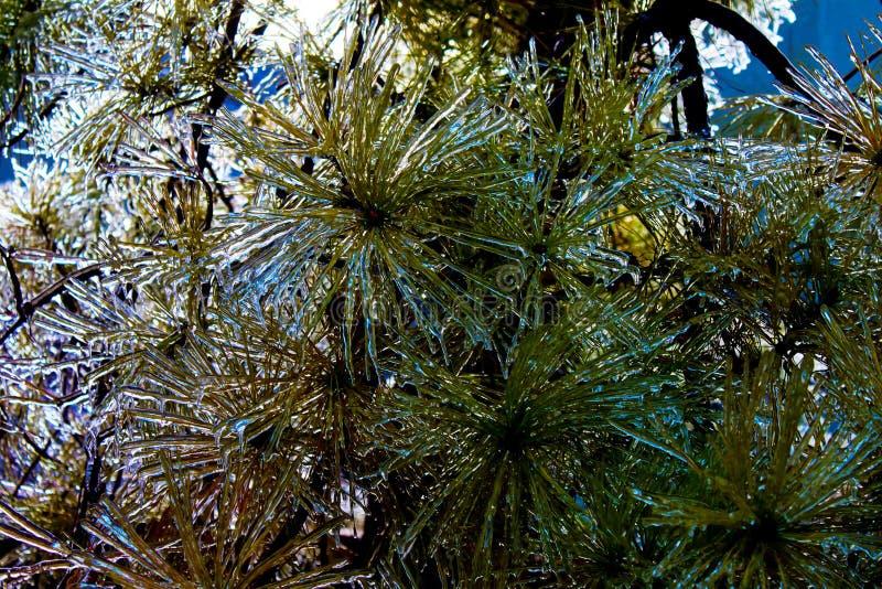 冰被复的常青大树枝特写镜头  免版税库存图片