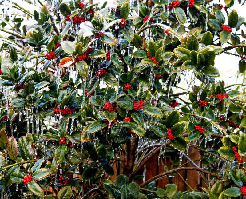 冰被复的霍莉和莓果反对木篱芭 免版税库存图片