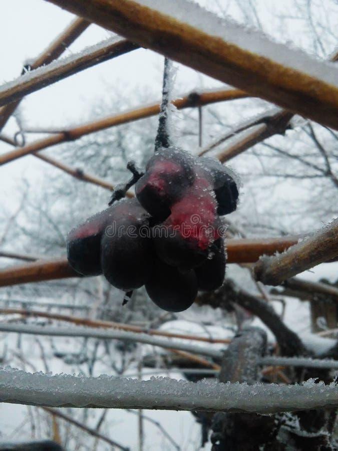 冰酒 冰酒的葡萄酒红葡萄在冬天情况和雪 白色剥落冰盖的结冰的葡萄, 免版税库存图片
