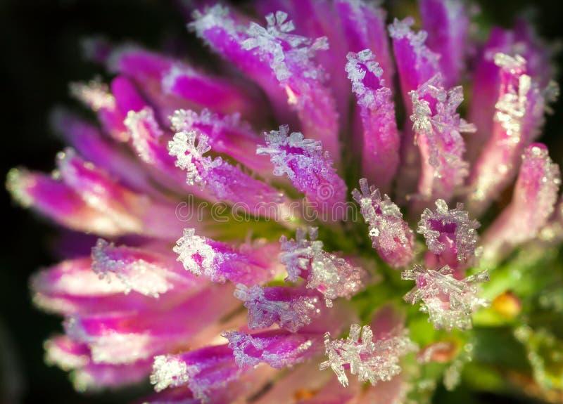 结冰细节自然紫色野花 库存图片