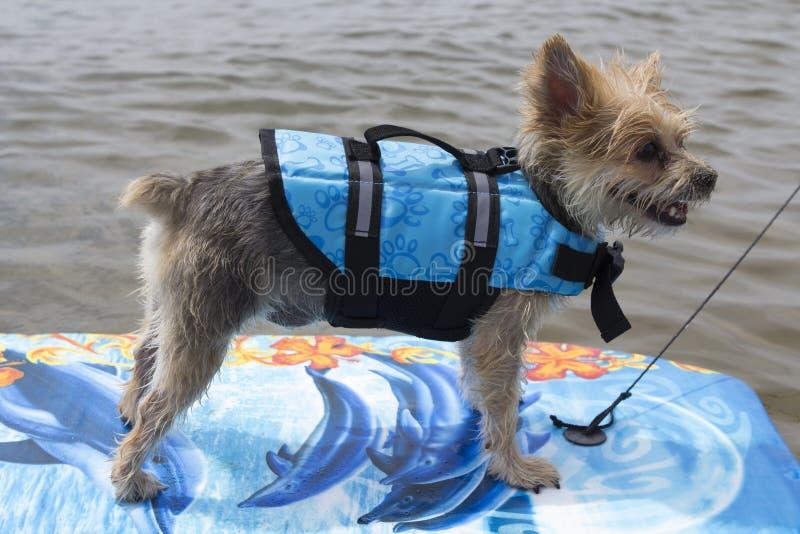 冲浪在湖的狗 免版税库存图片
