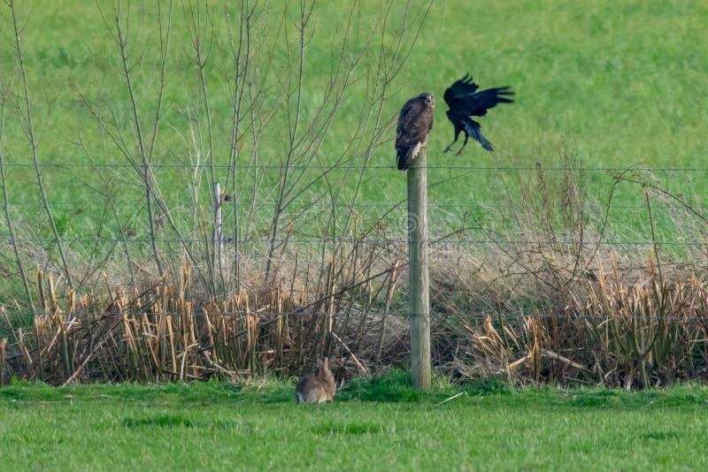 冲突本质上,因为乌鸦攻击肉食鵟鸟鵟鸟,兔子继续吃草 图库摄影