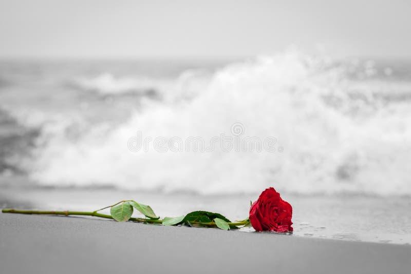 冲走从海滩的波浪一朵红色玫瑰 反对黑白的颜色 爱 免版税库存照片