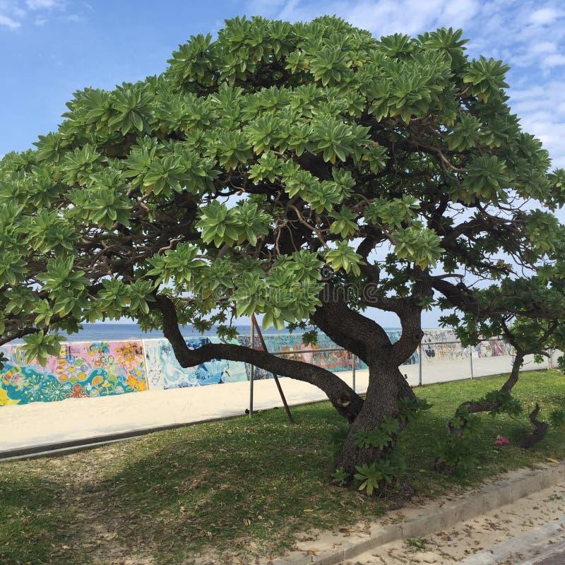 冲绳岛树 免版税库存图片