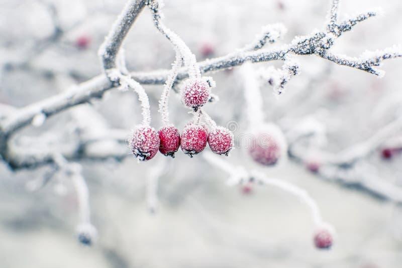 冷冻野玫瑰果 免版税库存图片