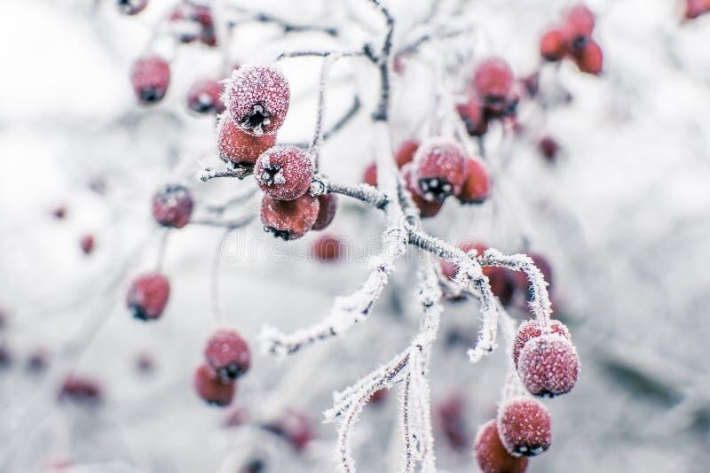 冷冻野玫瑰果 库存照片