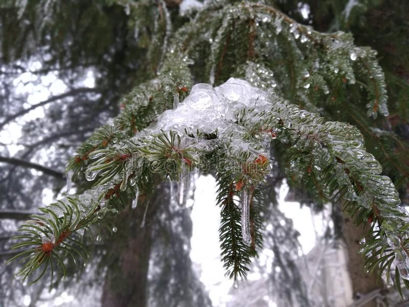 冷杉分支完全地冻结,与小杉木锥体 免版税库存照片