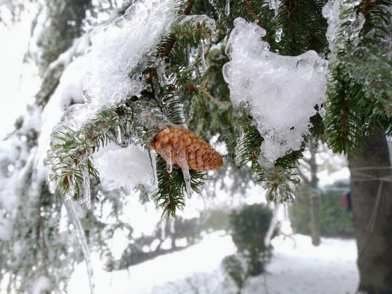 冷杉分支完全地冻结,与小杉木锥体 免版税库存图片
