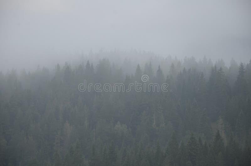 冷杉剪影在密集的早晨薄雾的在黎明前的一个山具球果森林里 库存图片