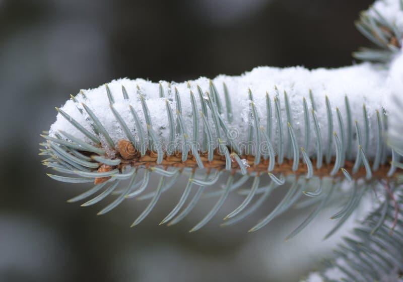 冷杉小树枝冬天 库存图片