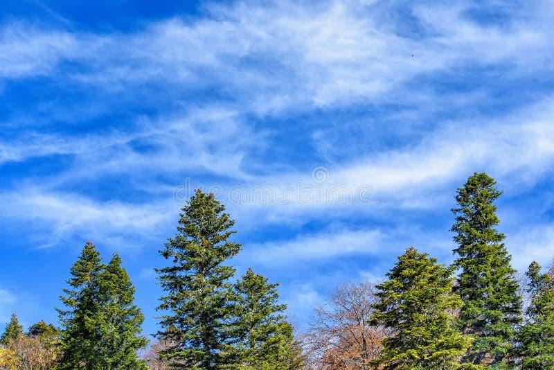 冷杉木冠在秋天在好日子 免版税库存照片