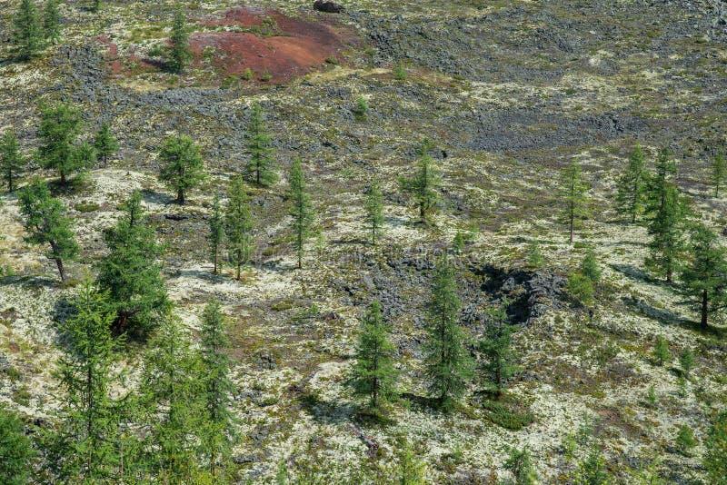 冷杉木和和罕见的植被在冻结的熔岩荒野,东Sayan,俄罗斯 库存图片
