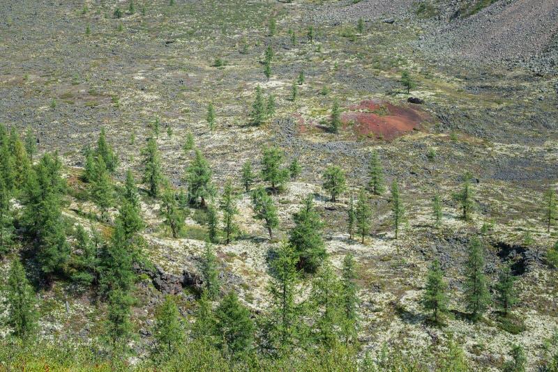 冷杉木和和罕见的植被在冻结的熔岩荒野,东Sayan,俄罗斯 免版税库存图片