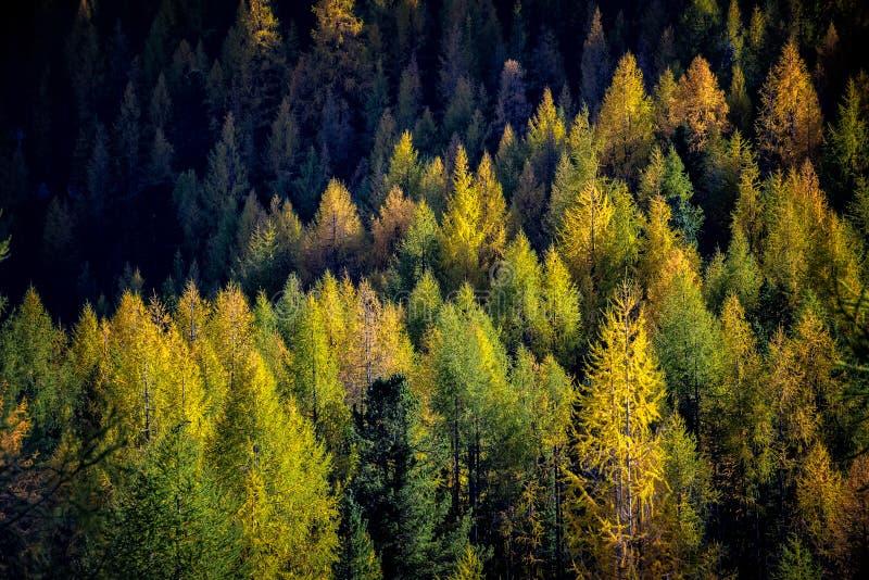 冷杉木森林在秋天 库存图片