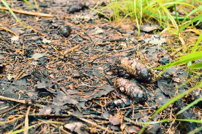 冷杉球果在路的森林里 免版税库存照片