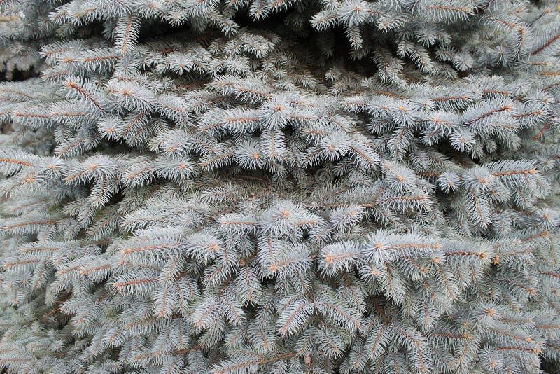 冷杉纹理树x-mas树森林 库存图片