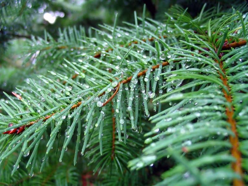 冷杉针结构树 库存照片
