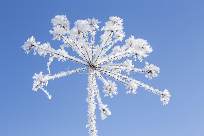冷淡冻的植物及早,晴朗的早晨,蓝天背景 免版税库存照片