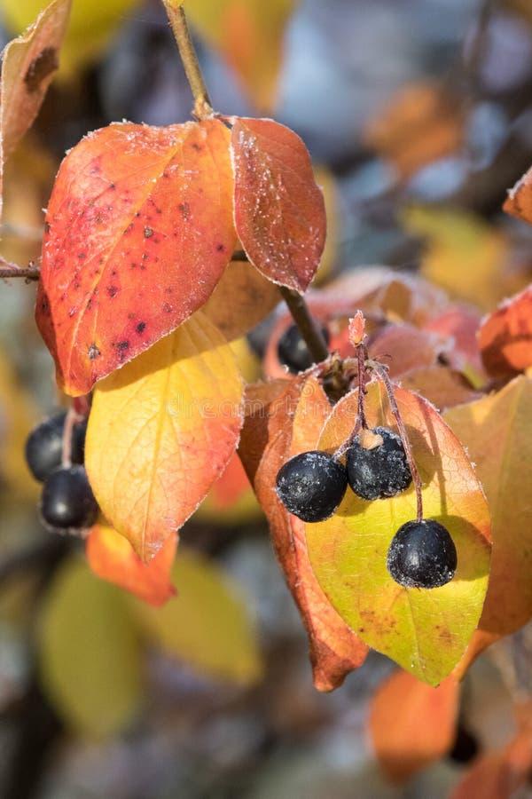 冷淡的充满活力的秋天颜色用莓果 库存图片