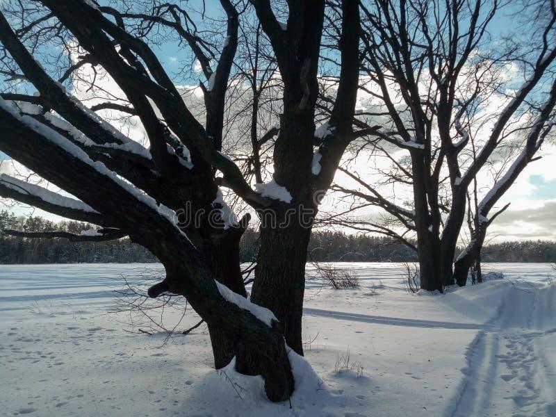 冷淡的晴天在多雪的乡下 一个老橡树的不生叶的分支在软的蓝天的看起来象一根花梢鞋带 图库摄影