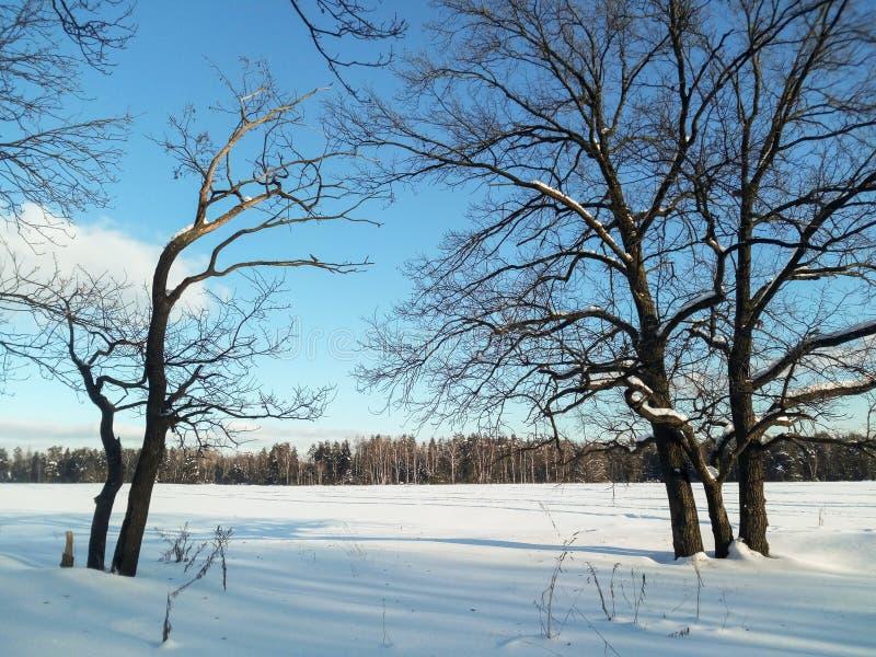 冷淡的晴天在多雪的乡下 一个老橡树的不生叶的分支在软的蓝天的看起来象一根花梢鞋带 库存图片
