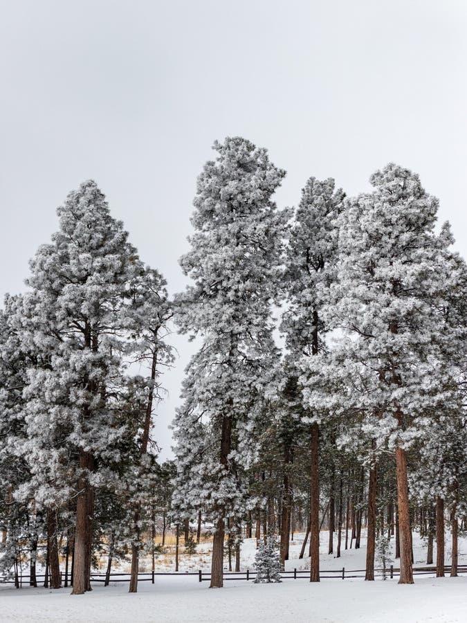 冷淡的杉木森林在科罗拉多 库存图片