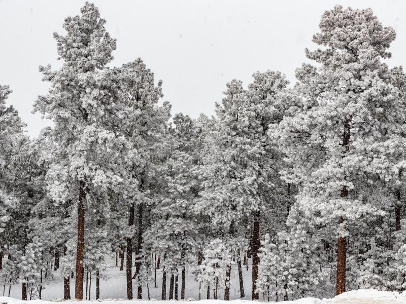 冷淡的杉木森林在科罗拉多 免版税库存照片
