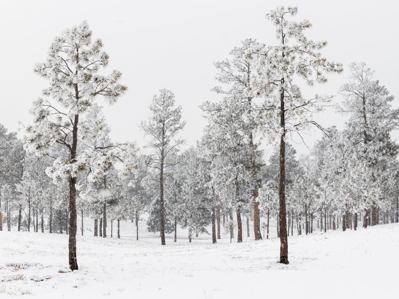 冷淡的杉木森林在科罗拉多 库存照片