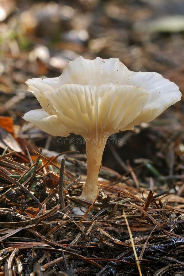 冷淡的真菌漏斗 库存照片