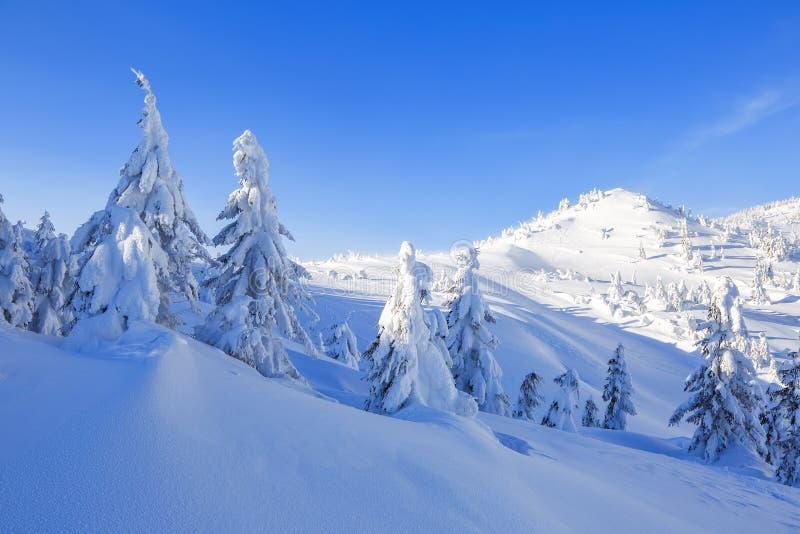 冷的冬天晴天 神奇,秘密,意想不到,山世界  在用雪盖的草坪好的树 免版税库存图片