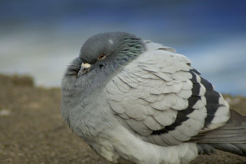 冷鸽子 库存照片