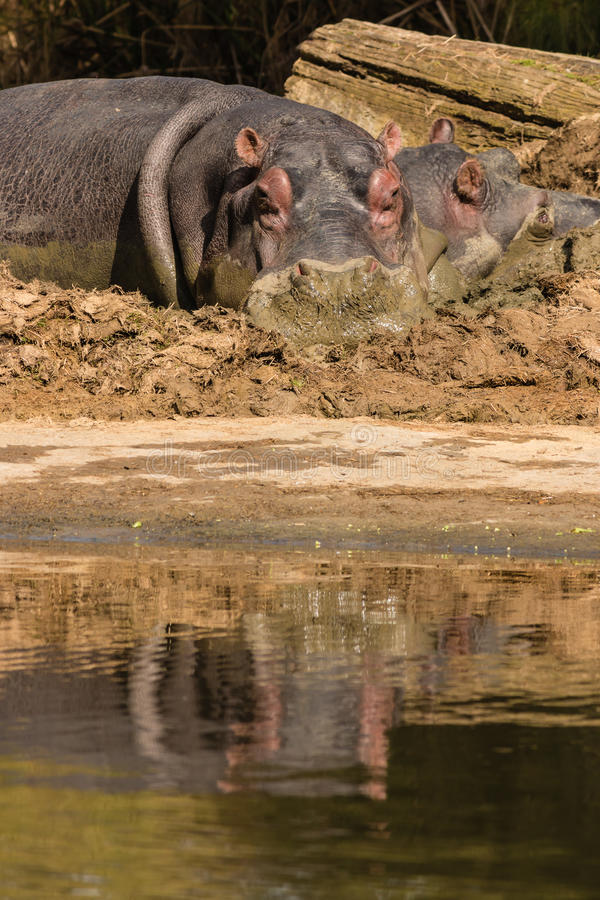 冷却在泥水池的河马 图库摄影
