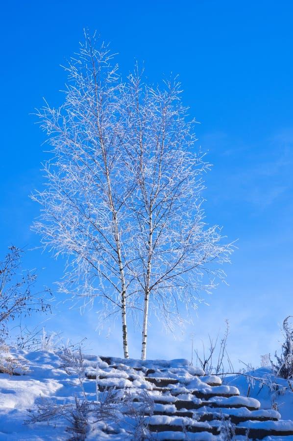 冻桦树在冬天 免版税库存照片