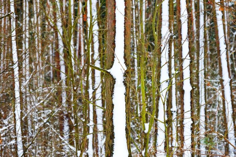 冻森林 库存图片