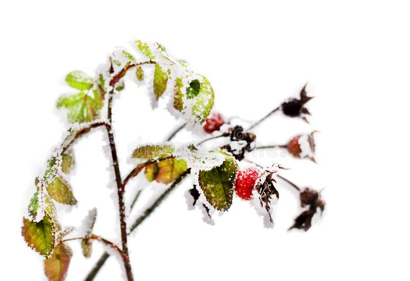 冻狗玫瑰分支在白色背景的一个冬天 库存图片
