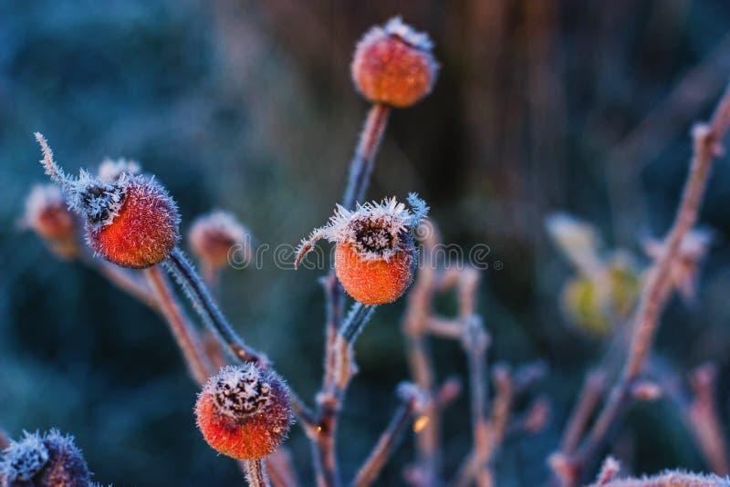 冻玫瑰 免版税库存图片