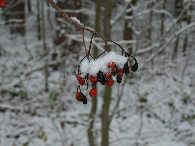 冻红色莓果冬天森林 库存图片