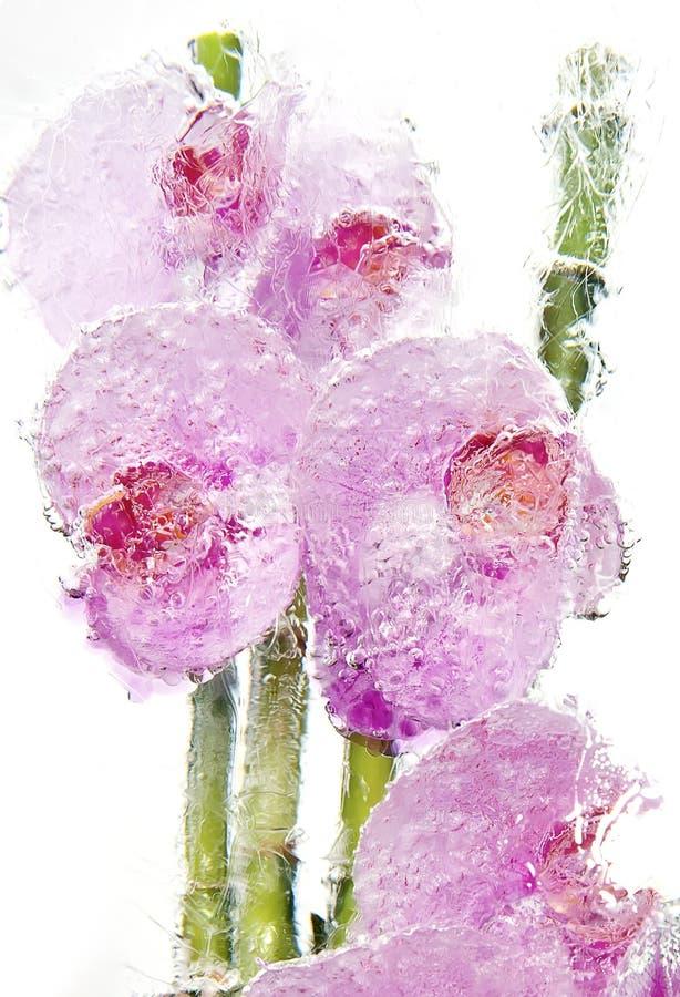 冻结桃红色兰花花束2 库存图片