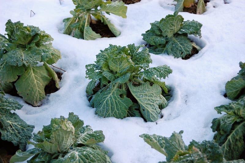 冻结的圆白菜 库存图片