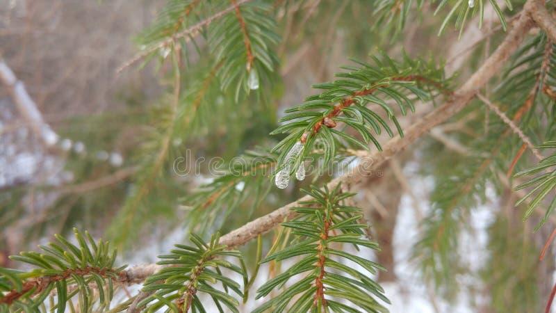 冻结的杉木小滴 免版税库存照片