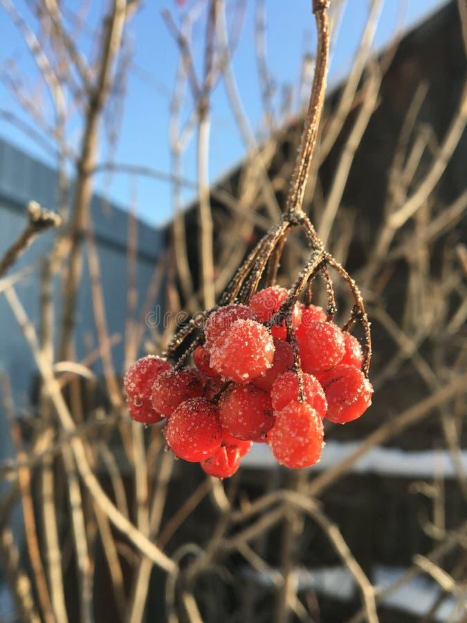 冻结的束荚莲属的植物 库存图片
