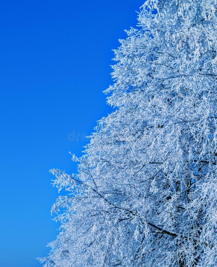 冻结的椴树天空蔚蓝bachground 免版税库存照片